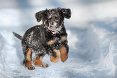 Black and golden hovawart puppy. On the snow royalty free stock photo