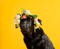 Black golden labrador retriever dog isolated on yellow backgroun. D. Studio shot. Portrait of a cute pet Royalty Free Stock Images