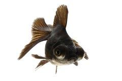 Black Goldfish. Isolated on white background Royalty Free Stock Photography