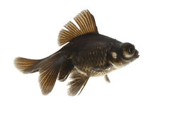 Black Goldfish Royalty Free Stock Photography
