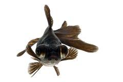 Black Goldfish. Isolated on white background Stock Photo