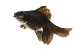 Black Goldfish. Isolated on white background Stock Photography