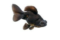 Black goldfish isolate on white Royalty Free Stock Photo