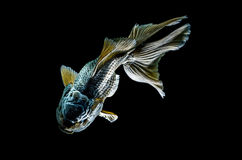 Black goldfish isolated : Clipping path included. Black goldfish isolated on black background : Clipping path included stock photography