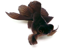 Black Goldfish on White With Long Shade Stock Photos