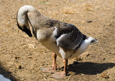 Black goose Stock Photography