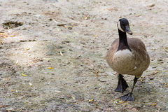 Black goose Royalty Free Stock Images