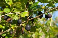 Black gooseberry. Branch with ripe berries Stock Photo