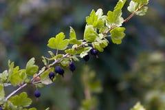 Black Gooseberry. Stock Photography