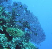 Black Gorgonian Sea Fan Stock Images