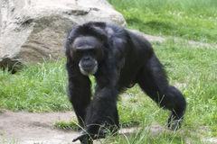 Black gorilla Stock Photography