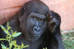 Black Gorilla With Hand to Face on Orange Wall Stock Images