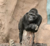 Black gorilla Royalty Free Stock Photography