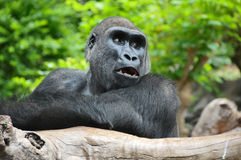 Black Gorilla Resting on a Wooden Pole Stock Photo