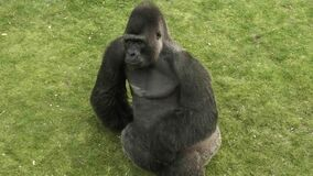 Black gorilla sits on the grass.