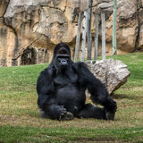 Black gorilla sitting, Lisbon zoo, Portugal. stock image