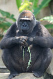 Black gorilla thinking Royalty Free Stock Photos