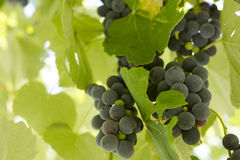 Black Gprape Vine Leaves Royalty Free Stock Photo