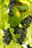 Black Gprape Vine Leaves Stock Photos