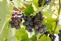 Black Gprape Vine Leaves Royalty Free Stock Images