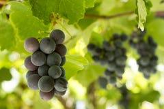 Black Gprape Vine Leaves Stock Images