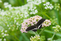Black graceful butterfly Royalty Free Stock Photography