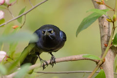 Black Grackle Stare down Royalty Free Stock Photography