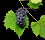 Black grape 1. Black grape with leaf - isolated on black background Stock Images