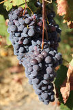 Black grape. Bunches of black grape,region of Calabria, Italy Stock Images