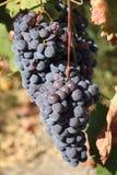 Black grape Stock Images