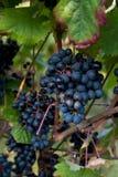 Black grape. In vineyard in autumn before harvest Royalty Free Stock Image