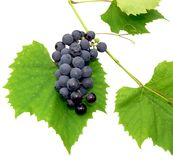 Black grape 2. Black grape with leaf - isolated on white Royalty Free Stock Photo