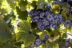 Black Grape Bunch. Close-up shot of Black Grape Bunch Stock Images