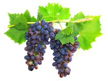 Black grape on cane vine with leafe. Isolated Royalty Free Stock Photography