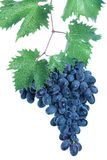 Black grape cluster with leaves Stock Image