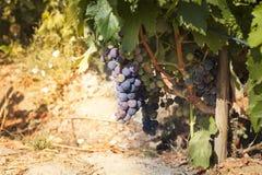 Black grape focused at sun bokeh. In a sunny day stock photo