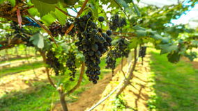 Black grape. Fruits hanging in the vineyard Royalty Free Stock Photos