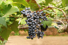 Black grape in garden Royalty Free Stock Image