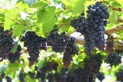 Black grape in garden, wine grape. Field Royalty Free Stock Photography