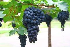 Black grape in garden, wine grape Royalty Free Stock Photo