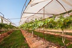 Black Grape. S in vineyard, Thailand Royalty Free Stock Image