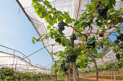 Black Grape. S in vineyard, Thailand Stock Photo
