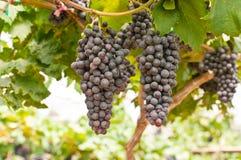 Black Grape. S in vineyard, Thailand Royalty Free Stock Photo