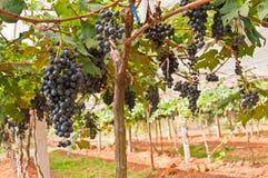Black Grape. S, Vineyard in Thailand Stock Photos