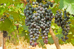 Black Grape. S, Vineyard in Thailand Royalty Free Stock Photography