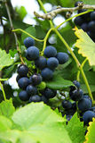 Black grape hanging on the branch Stock Images