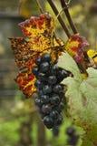 Black grape in rain royalty free stock images