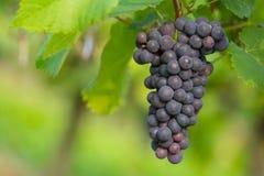 Black grape 5 Stock Photos