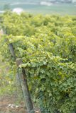 Black grape vineyards. At sunset with a lot of leaves stock photo