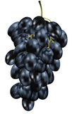 Black Grapes. Realistic  illustration of black grapes created with gradient mesh Stock Photo